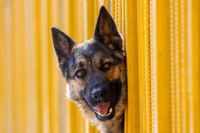 Confirmada transmissão da covid-19 a um cão